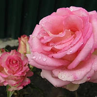 Роза чайно-гибридная Попов (Popov)