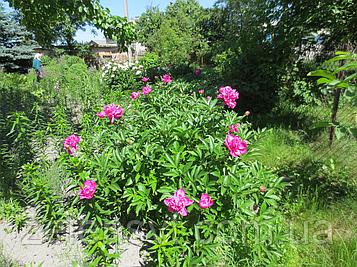 Півонія середньо-пізня Рожева. Пион среднепоздний Розовый.
