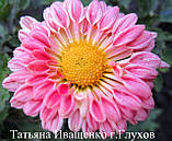 Хризантема живець, фото 2