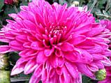 Хризантема корейська бордово-рожева РАНЯЯ З СЕРПНЯ, фото 2