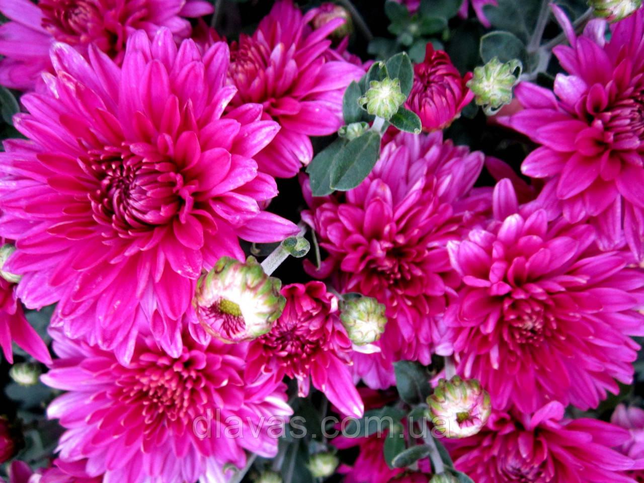 Хризантема корейська бордово-рожева РАНЯЯ З СЕРПНЯ