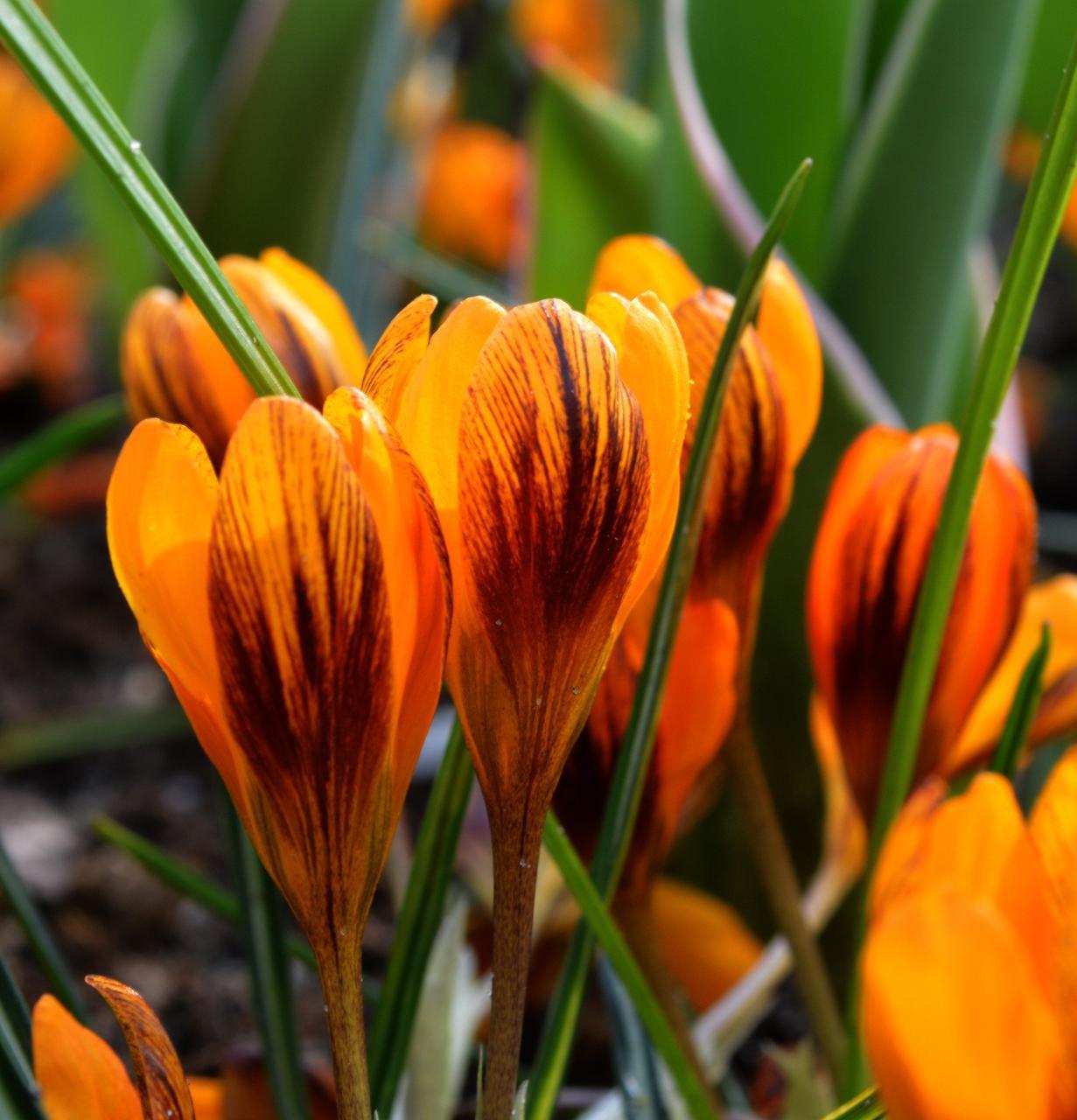 Крокус ботанический Orange monarch 5 луковиц