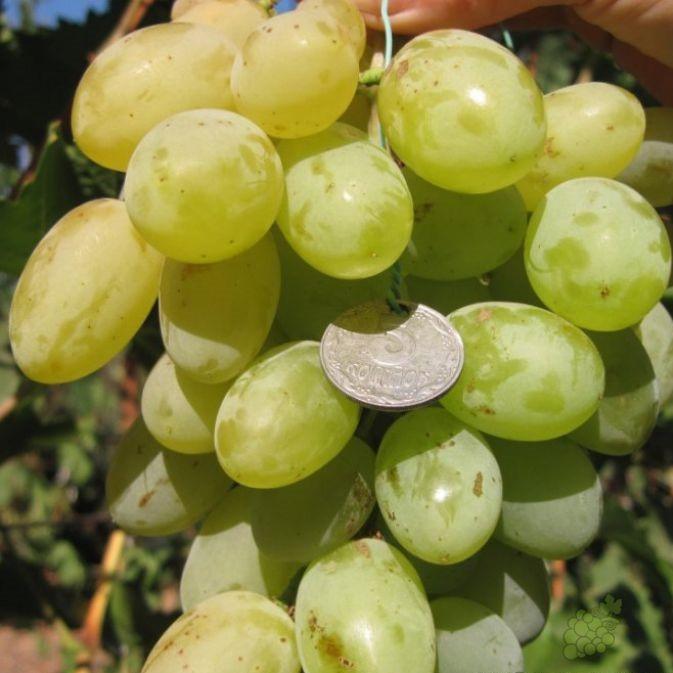 Саженцы Винограда Молочный - средне-позднего срока, крупноплодный, морозостойкий