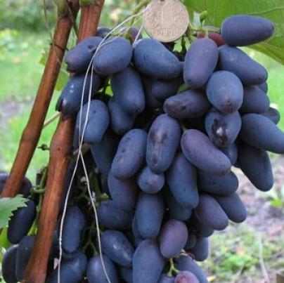 Саженцы Винограда Оригинал Черный - среднего срока, транспортабельный, урожайный