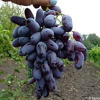 Виноград Ромео - среднего срока, урожайный, морозостойкий