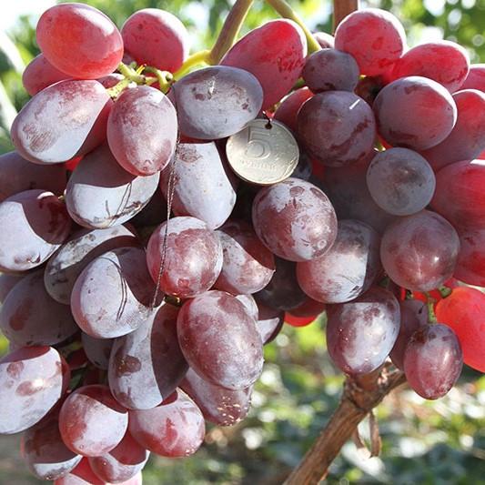 Саженцы Винограда Подарок Ирине - среднего срока, крупноплодный, транспортабельный
