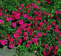 Роза почвопокровная  «Dark Fairy»