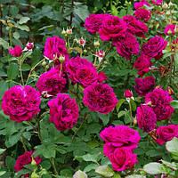 """Роза флорибунда """"William Sheakespeare"""""""