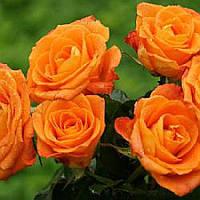 """Роза флорибунда """"Orange Sensation"""""""