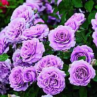"Роза флорибунда ""Love Song"""