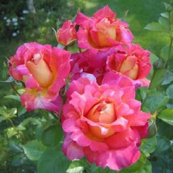 Роза плетистая Арлекин Декор