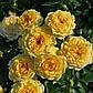 Роза бордюрная Апполо, фото 2