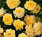 Роза бордюрная Апполо, фото 3