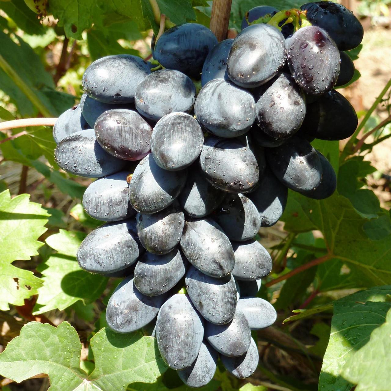 Саженцы Винограда Тип Кодрянки - сверх раннего срока, урожайный, морозостойкий