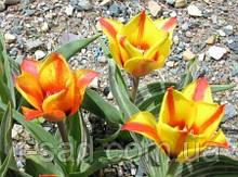 Тюльпан Cape Cod   10/11