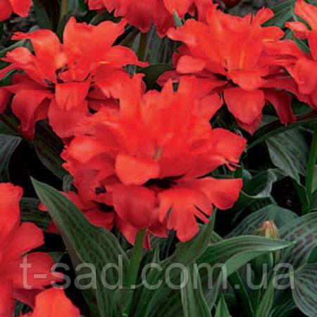 Тюльпан Double Red Riding махровий