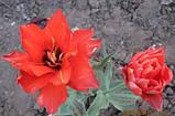 Тюльпан Double Red Riding махровий, фото 2