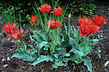 Тюльпан Double Red Riding махровий, фото 3