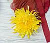 Головка хризантемы желтой  гигант