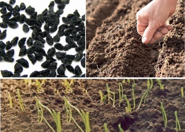 Семена лука репка