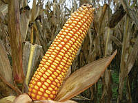 Семена кукурузы зубоподобной GS 115 В34, фото 1