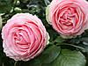 Роза плетистая Пьер де Ронсар/Pierre de Ronsard