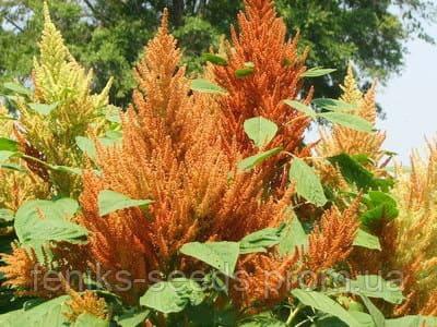 Амарант Оранжевый гигант семена 1000 шт.