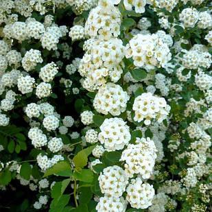 Саженцы Спиреи Вангутта (Spiraea Vanhouttei)