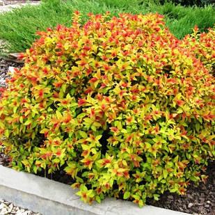 Саженцы Спиреи японской Меджик Карпет (Spiraea japonica Magic Carpet)