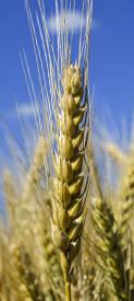 Семена озимой пшеницы Антоновка (Супер Элита)