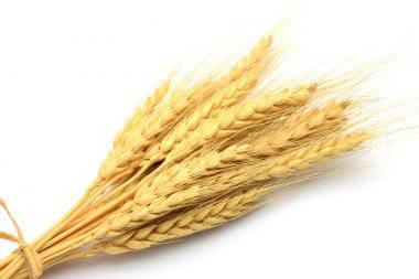 Семена озимой пшеницы Бунчук ( 1 репродукция)