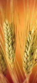 Семена озимой пшеницы Вдала (Супер Элита)