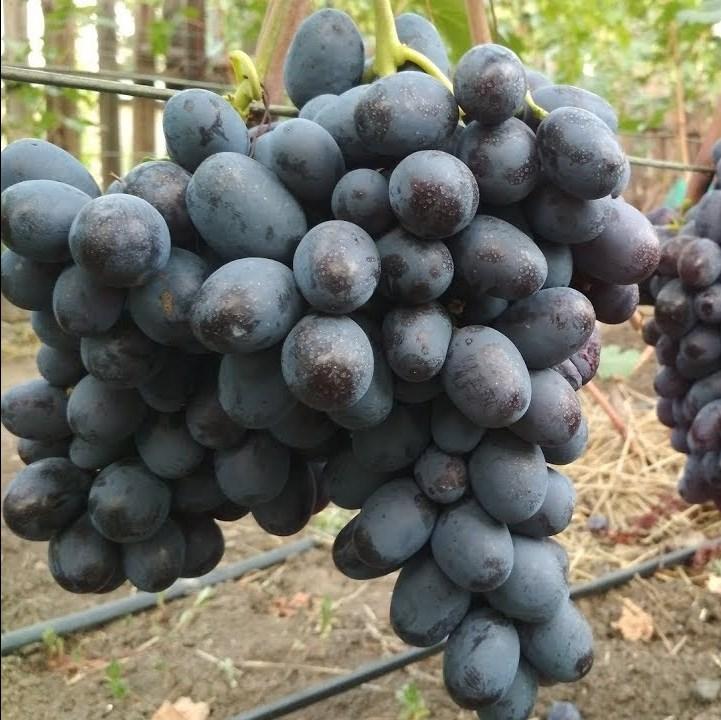 Саженцы Винограда Раджа - раннего срока, крупноплодный, морозостойкий