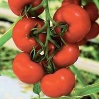Семена красного томата Бодерин F1 500 шт СИНГЕНТА / Syngenta