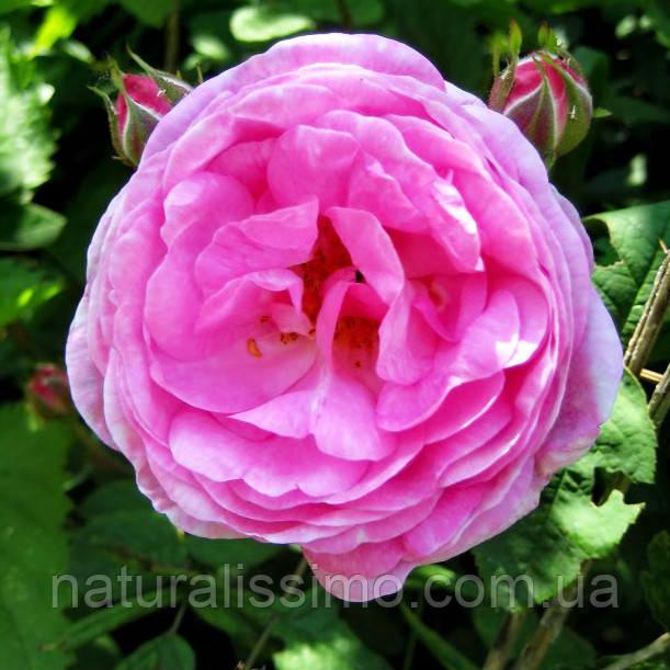 Альгинатная маска с розой, 50г