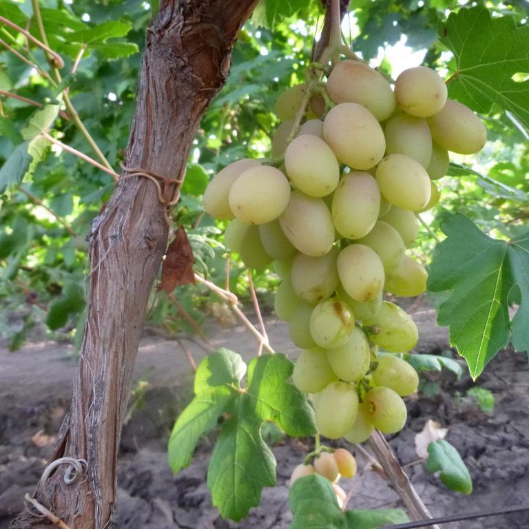 Саженцы Винограда Нельсон - раннего срока, урожайный, крупноплодный