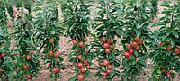 Как высаживать колоновидные яблони
