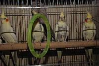 Корела, Виставочний Чех, нерозлучник, хвилястий папуга – невеличкі папужки з розплідника
