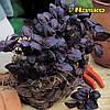 Базилик Этруск фиолетовый 25 г Nasco, Украина