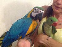 Птенцы ручного докормления. Сине-жёлтый ара.