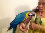 Ара Синьо-жовтий . (Ara ararauna), фото 8