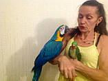 Ара Синьо-жовтий . (Ara ararauna), фото 9