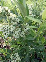 Голубика Торо 2 года Саженцы в горшках 1.5л, фото 3