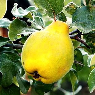 Саженцы Айвы грушевидной Крупноплодная - (2-х летняя) осеннего срока, высоко урожайная, зимостойкая