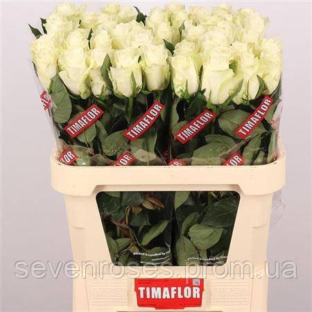 Роза Albatros 80см