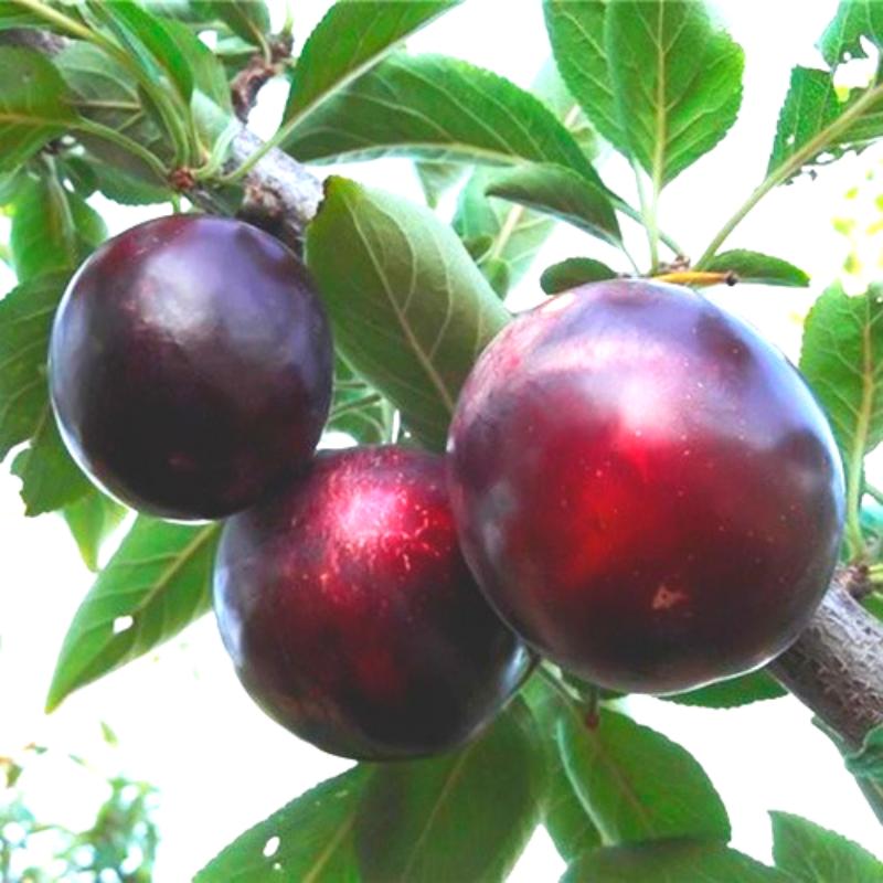 Саженцы Алычи Глобус (2-х летка) - среднего срока, крупноплодная, урожайная