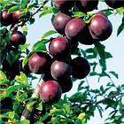 Саженцы Алычи Глобус (2-х летка) - среднего срока, крупноплодная, урожайная, фото 3