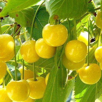 Саженцы Черешни Дрогана Желтая - среднего срока, урожайная, морозостойкая (2-х летка)