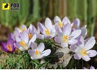 Коврик для мышки Pod Myshkou Весна-крокусы