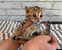 Котик Бенгал Ф1 29/07/2019 питомника Royal Cats., фото 1